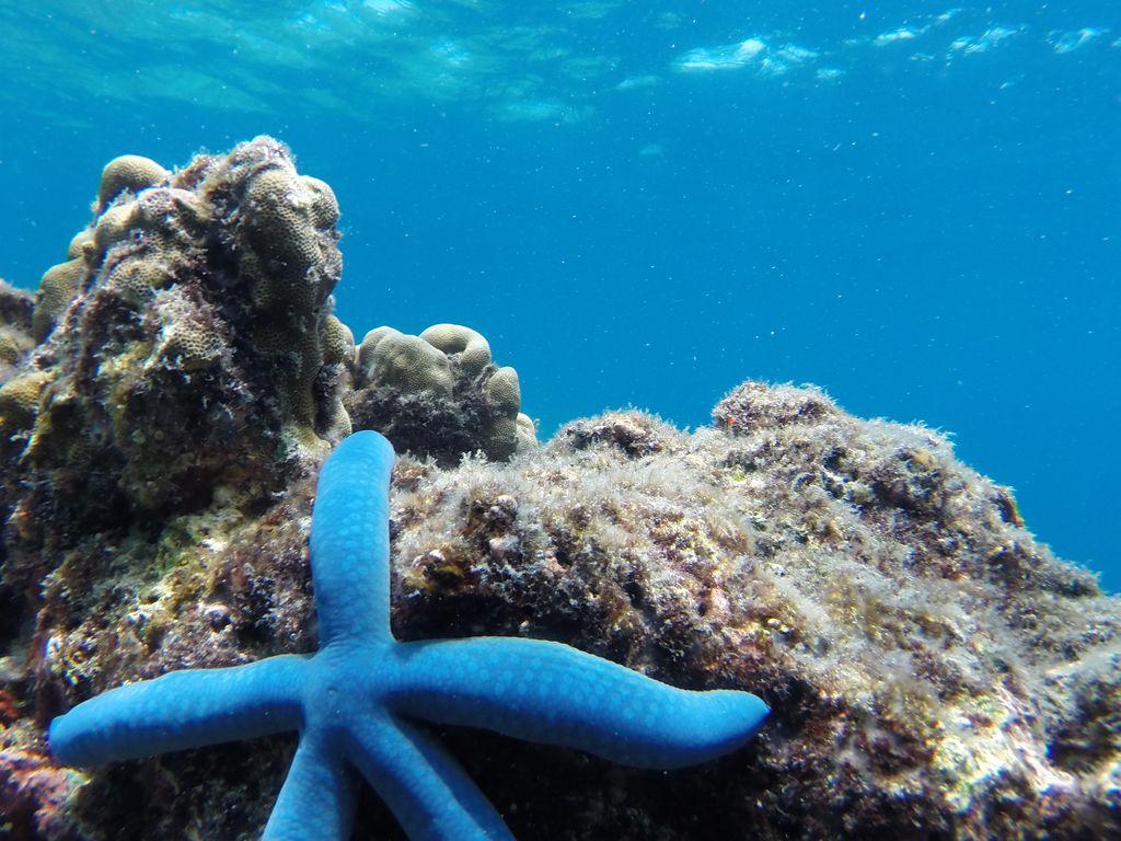 Etoile de mer bleue