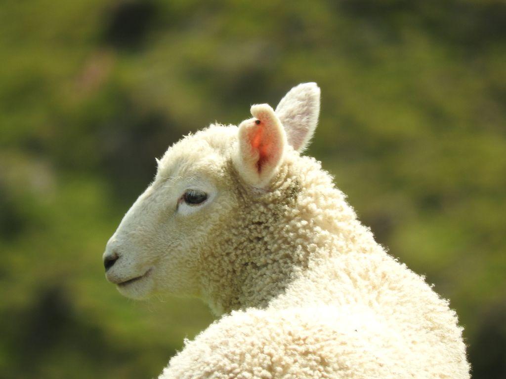 Mouton des Marlborough Sounds