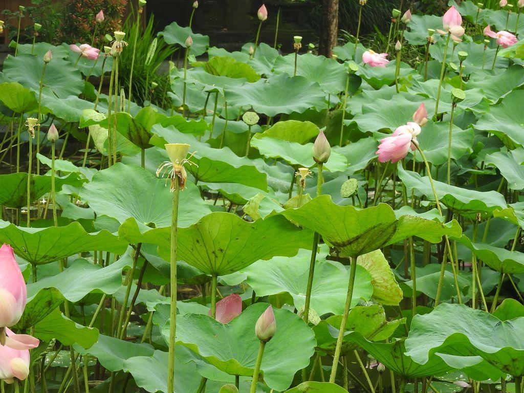 Lotus du temple Saraswati