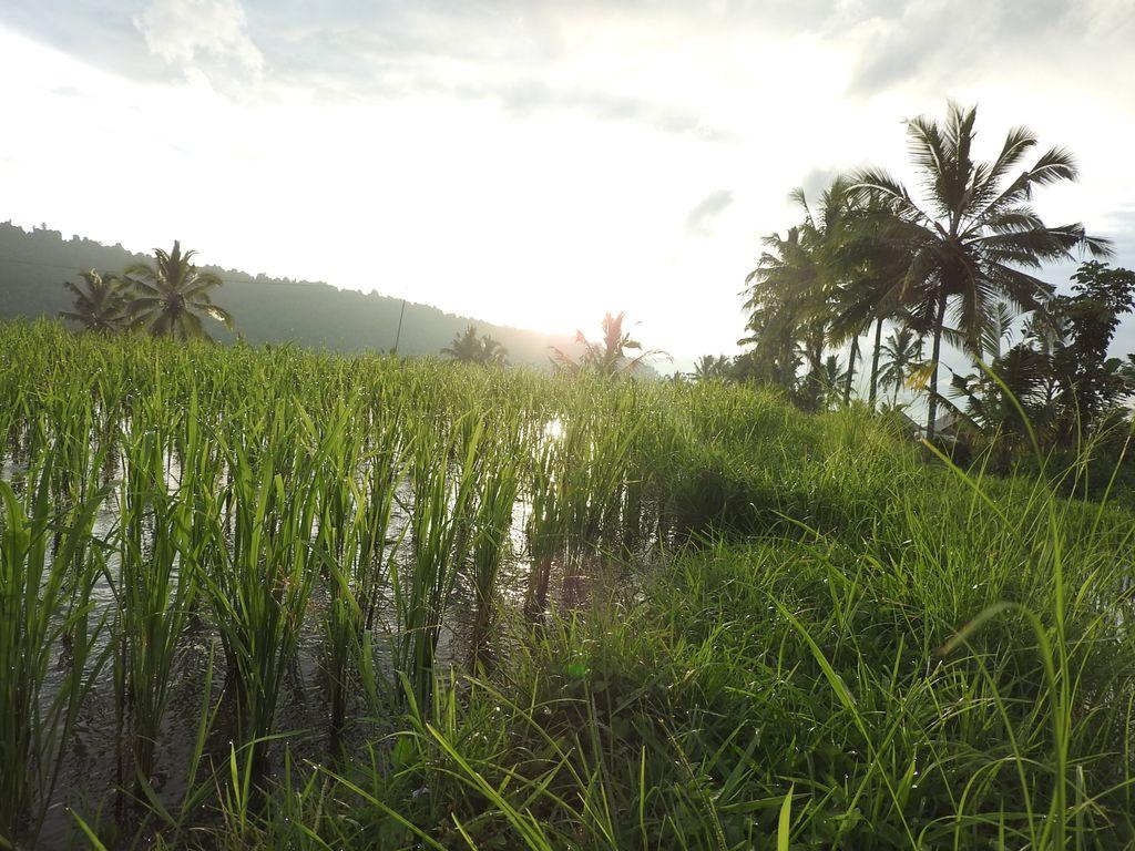 Couché du soleil sur les rizières