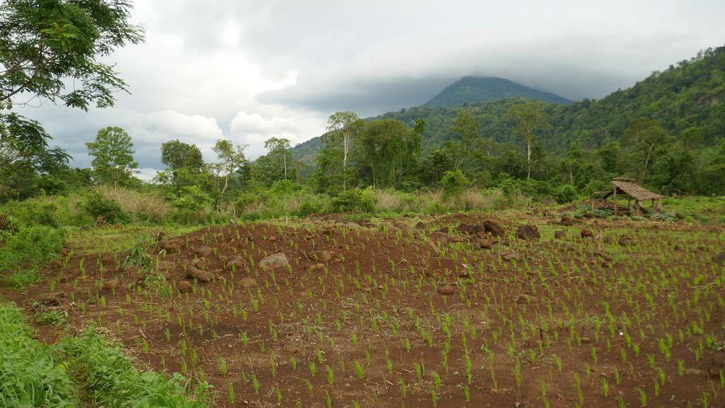 Champs de riz sauvage